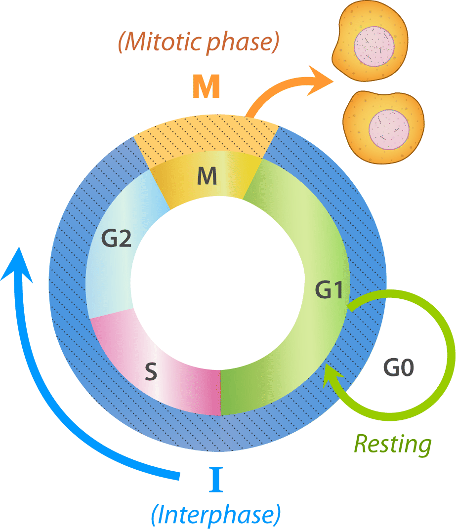 Interphase Cell Division Cycle